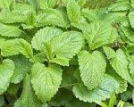 بادرنجبویه گیاهی مناسب برای معده درد