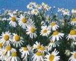 لوسیون گل بابونه برای پوست