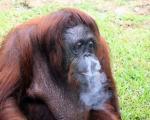 اورانگوتان سیگاری مجبور به ترك شد!