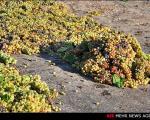 عکس: انگور را جلوی آفتاب پهن کنید بعد ...!