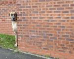 سگ غول پیکر ولی بسیار ترسو! +عکس