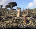 درختان خون اژدها +عکس