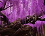 گنجی رنگارنگ در پارک آشیکاگا+تصاویر