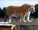 ماجرای ببری ساکن باغ وحش انگلیس که از ارتفاع می ترسید!