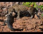 شکار در میان آرواره های شکارچی +عکس