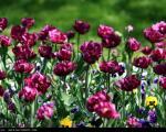 عکس: جشنواره گلهای پیازی در مشهد