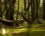جنگل کاج که درختهایش با زاویه قائمه رشد میکند!