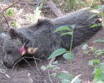 (تصاویر) نجات خرس قهوهای از تله شکارچی