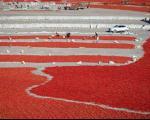فرش فلفل در کویر پهناور منطقه شین جیان