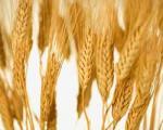 ایران ۲ میلیون تن گندم صادر میكند