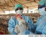 واکنش مدیرکل دفتر بهداشت به وجود آنفولانزای طیور در کشور