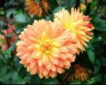 آموزش مفید پرورش دادن گل کوکب
