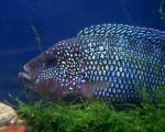 معرفی ماهی جک دمپسی