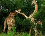 کونگ فو بازی دو زرافه! +عکس