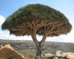 درختی عجیب که خون گریه می کند +تصاویر
