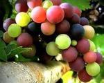 خواص دانه انگور