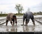 خزانهگیری برنج در شالیزارهای شمال +عکس