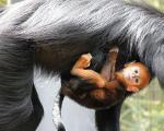 تولد یک میمون بسیار نادر در سیدنی/کدو تنبل نارنجی و بازیگوش!