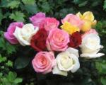نشانههایی برای عشق ومحبت و دوستی/ شش رنگ مختلف رزها چه میگویند