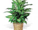 استفاده از سمی ترین گیاه