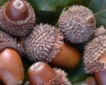 خواص میوه بلوط
