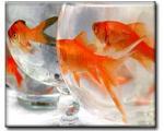 به ماهيهاي قرمز دست نزنيد