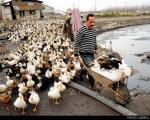 تصاویری از پرورش اردک در گیلان