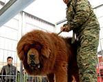 سگی به اندازه یک شیر