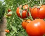 مصرف گوجه فرنگی حرام اعلام شد!
