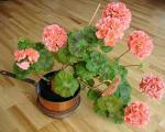 پرورش و نگهدای گل شمعدانی