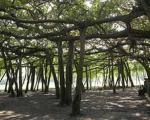 عریض ترین درخت جهان+عکس