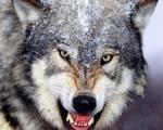 ضرب المثل چشم روباه كه به دمب گرگ بیفتد حساب پیه و دمبه خودش را میكند