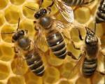 ۴۵ هزار زنبوردار تا ۲۷ آبان ماه بیمه خواهند شد