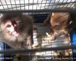 کشف و ضبط یک میمون در تهران