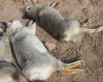 (تصاویر) کشتار بیرحمانه هفت روباه در اصفهان