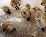 دهکده روباهها در ژاپن / تصاویر