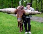 گاو آفریقایی ركورددار بزرگترین شاخ!