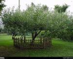 درخت سیب «نیوتن» +عکس