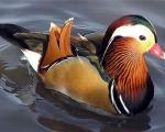 ملکه اردکهای جهان + تصاویر