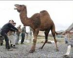 عربستان قربانی کردن شتر را در ایام حج ممنوع اعلام کرد