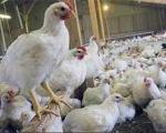 عراق ورود مرغ و تخم مرغ های ایران را ممنوع کرد