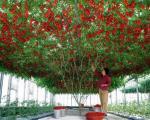 گوجه فرنگی درختی دیده اید؟! +عکس