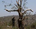 فروش درخت زیتون 2هزار ساله