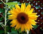 بلندترین گل آفتاب گردان جهان در انتظار گینسی شدن