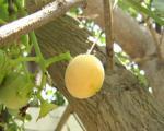 «سپستان» گیاهی مناسب امراض کلیوی