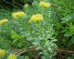 گیاه دارویی اعجابآور در ارتفاعات هیمالیا(+عکس)