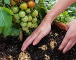 پیوند زدن گوجهفرنگی و سیبزمینی! +عکس