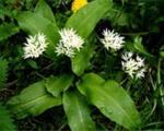 والک؛ سبزی کوهی بهاری