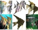 ماهی آنجل و روش تكثیر آن