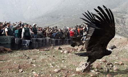 آزاد کردن بزرگ ترین پرنده شکاری جهان در شیلی
